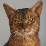 Mutuelle vieux chat : comparateur de mutuelle pour chat