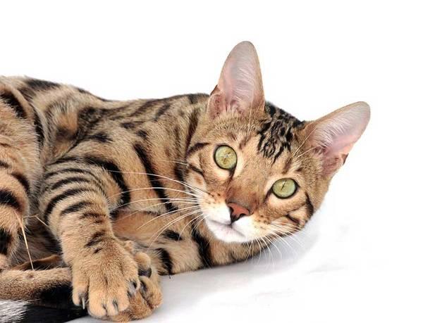 assurance chat pas cher